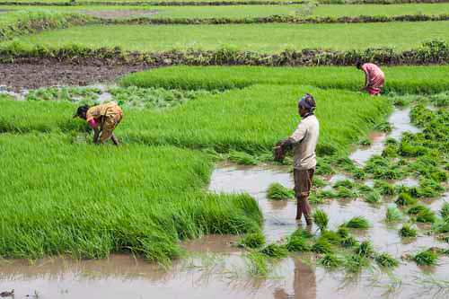 Images of Indian farmers, agriculture, agricultural fields, vegetable farming, fruit, harvesting activity.